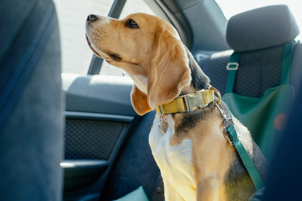 Dog with seat belt in car seat